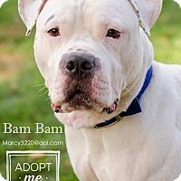 English Bulldog Dog for adoption in Whitestone, New York - Bam Bam (Acc)