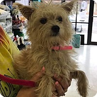 Yorkie, Yorkshire Terrier Mix Dog for adoption in Maple Grove, Minnesota - Lizzy