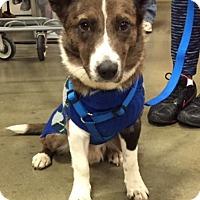 Adopt A Pet :: Braxton - Irmo, SC