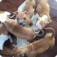 Adopt A Pet :: Annalyce's Litter - Greensboro, MD