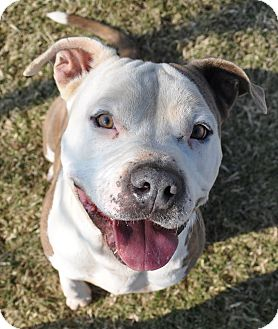 american bulldog terrier mix sebastian adopted dog valley springs ca american 7141