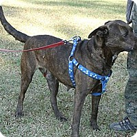 Staffordshire Bull Terrier Mix Dog for adoption in Sylvania, Georgia - Susie (Courtesy Listing)