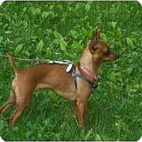Adopt A Pet :: Harley - Rigaud, QC