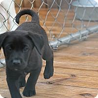 Adopt A Pet :: Joel - Morgantown, WV