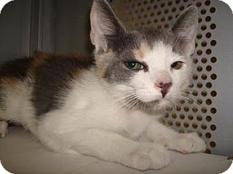 Domestic Shorthair Cat for adoption in Miami, Florida - Claire