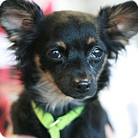 Adopt A Pet :: Sable - Canoga Park, CA