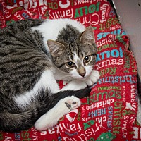 Domestic Shorthair Cat for adoption in Chicago, Illinois - Alex