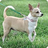 Adopt A Pet :: Shaya - Gainesville, FL