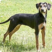 Adopt A Pet :: Penelope - Cashiers, NC