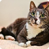 Domestic Shorthair Cat for adoption in Queens, New York - Buddy