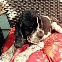 Adopt A Pet :: Clare - Sacramento, CA