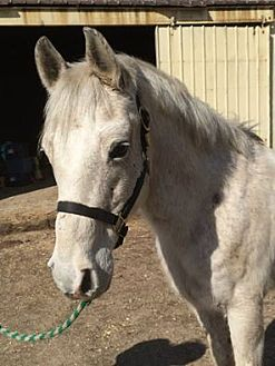 Arabian Mix for adoption in Dewey, Illinois - Jim Dandy
