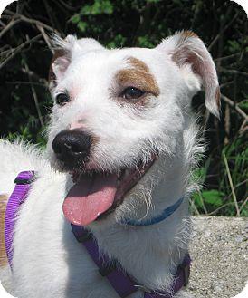 Hobart, IN - Jack Russell Terrier/Basset Hound Mix. Meet ...