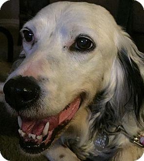 English Setter Dog for adoption in Pine Grove, Pennsylvania - GIGI