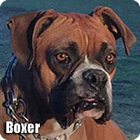 Adopt A Pet :: Boxer - Encino, CA