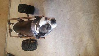 Boston Terrier/French Bulldog Mix Dog for adoption in Templeton, California - Skittles