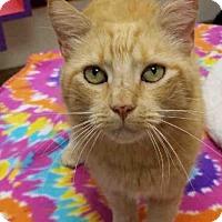 Domestic Mediumhair Cat for adoption in Springfield, Massachusetts - SIREN