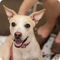 Adopt A Pet :: Cassie - Minneapolis, MN