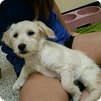 Adopt A Pet :: Bree - Thousand Oaks, CA