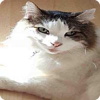 Norwegian Forest Cat Cat for adoption in San Antonio, Texas - BO