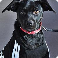 Adopt A Pet :: Wilson *Jasmine's Puppy* - Gretna, NE