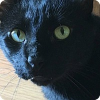 Bombay Cat for adoption in Los Angeles, California - Kohl
