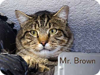 American Shorthair Cat for adoption in Hamilton, Montana - Mr. Brown