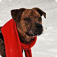 Shepherd (Unknown Type)/Boxer Mix Dog for adoption in Glastonbury, Connecticut - Pollyanna~meet me~new pics!