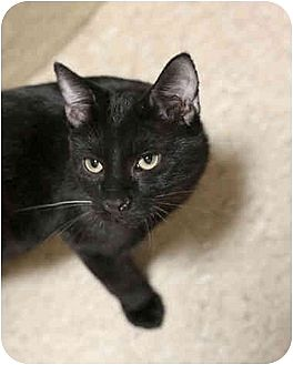 Domestic Shorthair Cat for adoption in Dallas, Texas - JACKSON