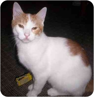 Domestic Shorthair Cat for adoption in St. Louis, Missouri - Spidey
