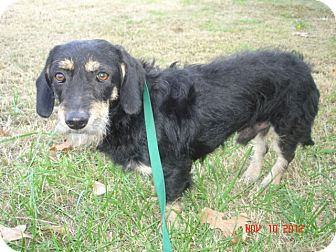 Dachshund Dog for adoption in Stilwell, Oklahoma - Apache