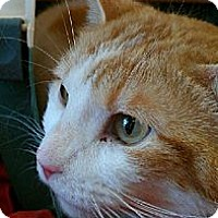 Domestic Shorthair Cat for adoption in Youngsville, Louisiana - Igor