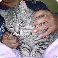 Domestic Shorthair Cat for adoption in Sherman Oaks, California - Annie - sponsor only