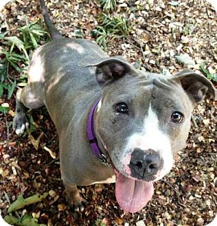 American Staffordshire Terrier Mix Dog for adoption in Fredericksburg, Virginia - Brooke