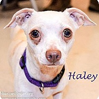 Adopt A Pet :: Halley - Bedford, TX