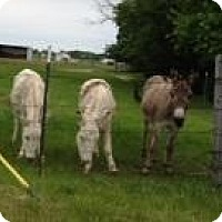 Donkey/Mule/Burro/Hinny for adoption in Quinlan, Texas - Blanca and Chico