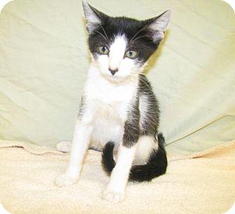 Domestic Shorthair Kitten for adoption in Oxford, Mississippi - Clover