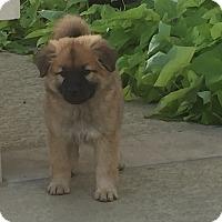 Adopt A Pet :: Linus - West Hartford, CT