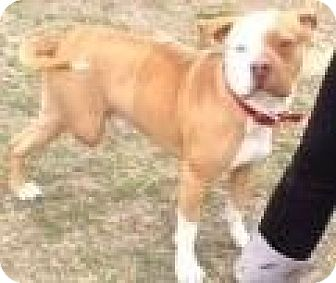 American Bulldog/Pit Bull Terrier Mix Dog for adoption in Quinlan, Texas - BOO