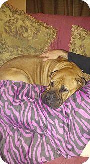 Bullmastiff Dog for adoption in Deer Lodge, Tennessee - Allie