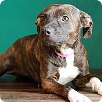 Adopt A Pet :: Brindle - Waldorf, MD