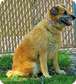 Terrier (Unknown Type, Medium)/Golden Retriever Mix Dog for adoption in Redondo Beach, California - Maggie