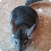 Adopt A Pet :: Tom - Granby, CT