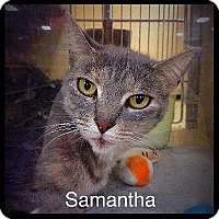 Abyssinian Cat for adoption in El Dorado Hills, California - Samantha