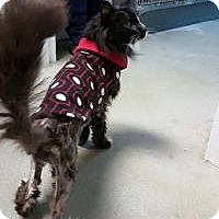 Adopt A Pet :: Classy-med hold in foster - Manchester, NH