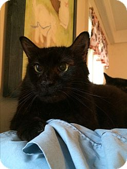 Domestic Mediumhair Cat for adoption in Middletown, New York - Blanket