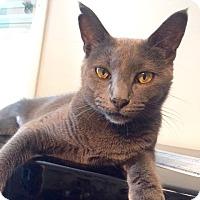 Adopt A Pet :: Willet - Long Beach, NY