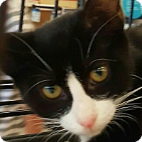 American Shorthair Kitten for adoption in Lyons, Illinois - Blacky Blackjack