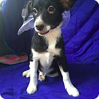Adopt A Pet :: aria adoption pending - Manchester, CT