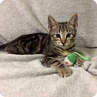 Adopt A Pet :: Graham (in CT) - Manchester, CT